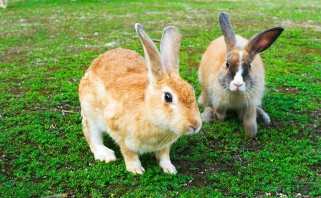 ミニウサギの大人の大きさは?なつくの?寿命・販売価格【飼い方】