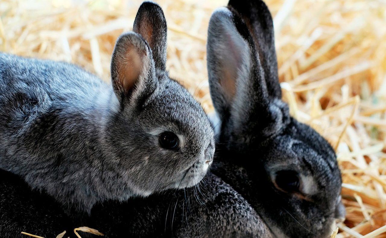 うさぎの繁殖方法|妊娠可能な時期や年齢、妊娠の兆候や飼い方も