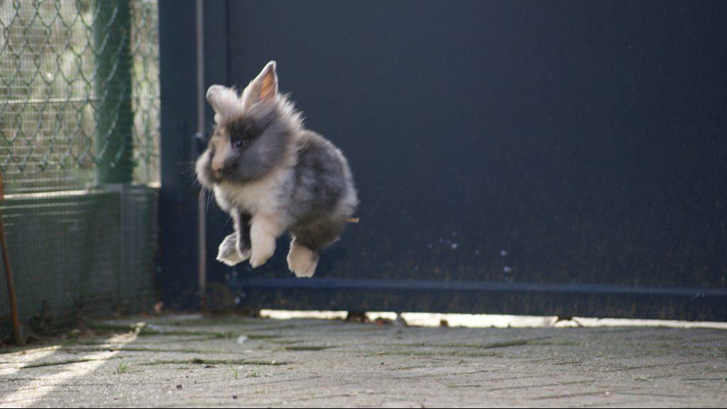 ジャンプする仔うさぎ