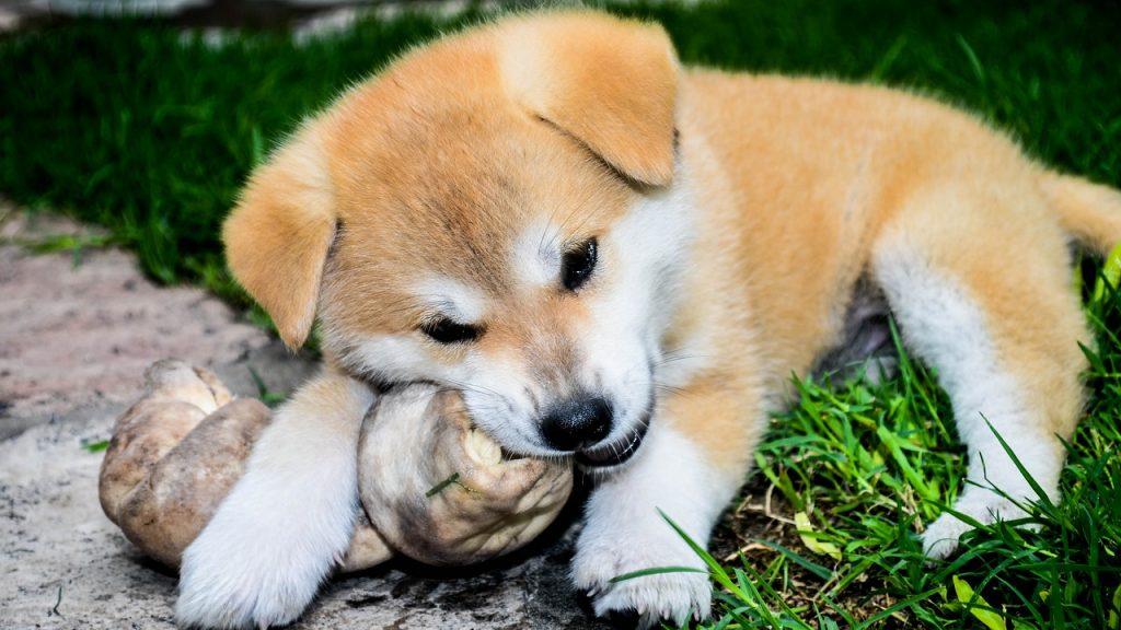 骨を噛む子犬