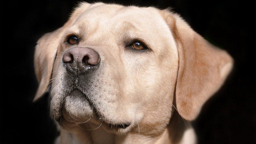 凛々しい顔の成犬